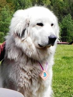 Klikněte k uzavření Girls Best Friend, Best Friends, Great Pyrenees, Mountain Dogs, Rescue Dogs, Husky, Animals, Pictures, Beat Friends