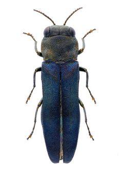 Agrilus rotundicollis