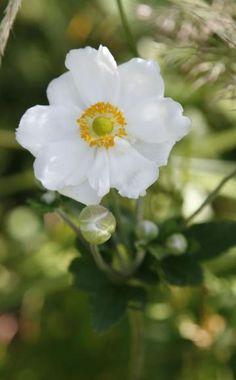 Japanische Herbst-Anemone Fall Flowers, White Flowers, Beautiful Flowers, Ikebana, Japanese Anemone, Alpine Garden, No Rain, Ranunculus, Anemones