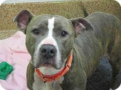 Pit Bull Terrier Mix Dog for adoption in Springfield, Massachusetts - TANK