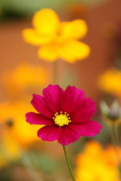 ~~Cosmos on golden backdrop by flowers Cosmos Flowers, All Flowers, Flowers Nature, Beautiful Flowers, Nature Tree, Flower Petals, Flower Art, Flower Pictures, Planting Flowers