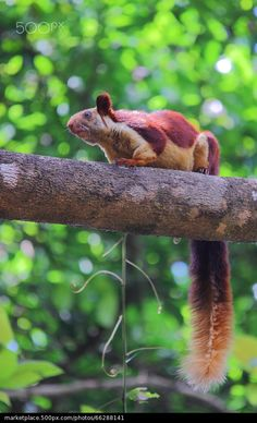 Malabar Giant Squirrel - Kartik Bhat