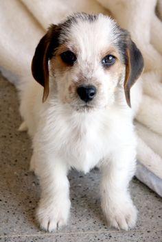 ¡ADOPTADO! OTTO Cachorro macho de tres meses. Pesa dos kilos, es muy pequeñito. Será pequeño-mediano. son de un cazador que cazaba conejos. así que es un mestizo de caza. Muy bueno, un poquito tímido