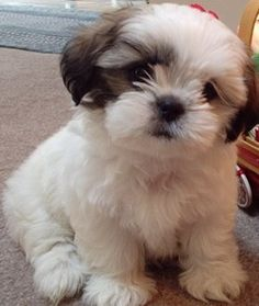 This is a Maltese Shih Tzu mix - also adorable