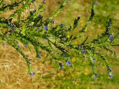 Ochsenzunge (Anchusa officinalis), mit Blüten