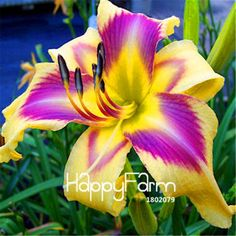 Hot Sale! 100 Seeds/Lot Hybrid Daylily Flowers Seeds Hemerocallis Lily Indoor Bonsai Home Garden Supplies