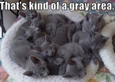 Russian Blue Cats basket of gray cats! Basket of Russian Blue kittens! These are NOT just ordinary grey cats but the most extraordinary cats in the world! I lived with two for more than 15 years and there is no other cat like them! Cute Cats And Kittens, I Love Cats, Kittens Cutest, Korat, Blue Cats, Grey Cats, Orange Cats, Russian Blue Kitten, Baby Animals