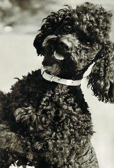 Happy poodle by sctatepdx, via Flickr