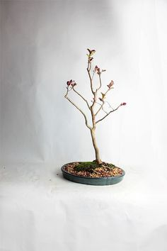 "Crape Myrtle Bonsai Tree ""LiveBonsaiTree Spring Collection"" by LiveBonsaiTree on Etsy"