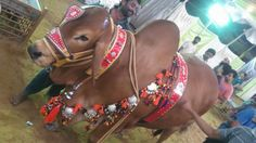 Decorated Bull on Eid ul Azha