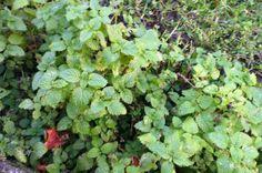 Mélisse, Melissa officinalis, LAMIACEES Novembre 2013 Antispasmodique, digestive, sédative, progestative 2013, Gardens, November, Earth, Plant
