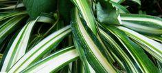 Nio krukväxter som renar luften och som är svåra att döda
