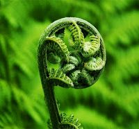 Beautiful photo of the fern frond unravelling.