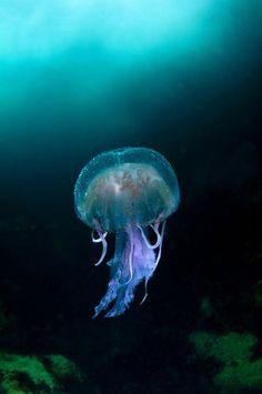 「海岸と海洋」部門 最優秀作品「スーラ・スゲア島の青い海に浮かぶクラゲ」英国の野生生物をとらえた写真コンテスト「英野生生物写真賞(BWPA)」入賞作品 : カラパイア