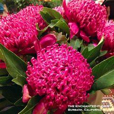 #protea Signature Design, Enchanted, Beautiful Flowers, Raspberry, Fruit, Garden, Garten, Lawn And Garden, Gardens