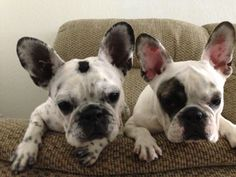OMG, What's That? Inquisitive French Bulldogs.