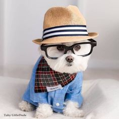 Hipster Maltese ○ Toby LittleDude...too cute Toby Littledude: Instagram | Facebook via [Hello Giggles]