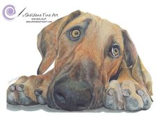 "Coloured pencil drawing of Honey the Rhodesian Ridgeback Pup. ""Adorable Guilt"" www.sheldenefineart.com"