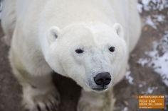 Hello Mr. Polar Bear - Churchill Canada — earthXplorer adventure travel photography