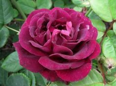 Souvenir du Dr Jamain. A rare beauty. Old-fashioned, ruffled, cupped double blooms of rich, velvety black-violet(the color of port). Wonderfully fragrant. This grand old Hybrid perpetual may be grown as a shrub or climber. It needs part shade to develop its most beautiful color. Impressive. Repeat blooming and hardy zones 5-9. 7'. France, 1853