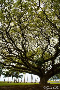 A large Albizia tree grows near the Pacific Ocean in the town of Hilo on the Big Island of Hawaii by Grant Collier