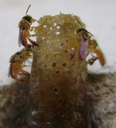 Meliponas (hymenoptera)