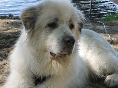 GREAT PRYNESS DOG PHOTO | dirty dog | Great Pyrenees Dog Photos, Dog Pictures, Great Pyrenees, Dogs And Puppies, Doggies, Dog Love, Best Dogs, Husky, Animals