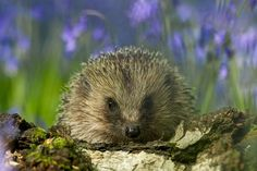 Hedgehog in the Bluebells
