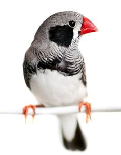 charcoal zebra finch for sale - Google Search