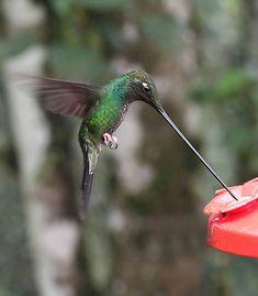 Sword-billed Hummingbird - Photos by Peter Hoell