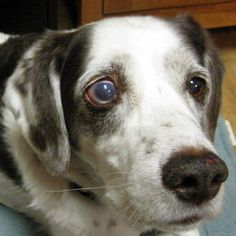 Can Dogs With Glaucoma Live