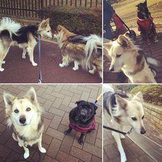 今さら〜のお正月のお友達とスタスタ歩くマカ(^^;; #mix ももちゃん はやと兄ちゃん #黒パグ マメタ君  #マカ #東京の犬#保護犬#雑種犬#いぬら部#ふわもこ部#犬バカ部#うちのわんこ#愛犬#散歩#dogstagram  #happydog#lovedog#igdog#dogsofig#cutepetclub#nodognolife#doglover#mutt#doggyfriends#walk