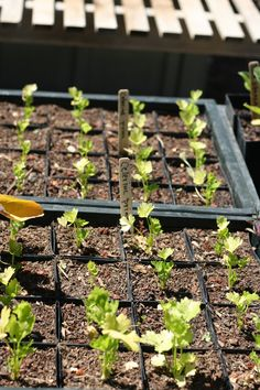 Organic celeriac in progress.