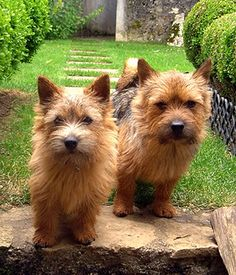 Interested in a terrier? We have information about terrier dog breeds here! Norfolk Terrier, Terrier De Norwich, Top 10 Dog Breeds, Cute Dogs Breeds, Super Cute Dogs, What Kind Of Dog, Australian Terrier, Terrier Dog Breeds, Cairn Terriers