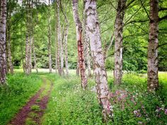 Wanderweg im Birkenwald Hunsrück