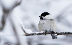 Willow Tit at Rovaniemi, Finland. One of most common winterbirds here. Fearless little bird