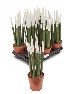Sansevieria velvet touch 45 cm | Terrapalme Heim- und Gartenshop Blue Succulents, Snake Plant, Cactus Plants, Indoor Plants, Velvet, Gardening, Touch, Animal, Sewing