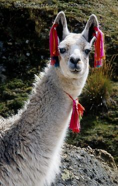 Colored tassels on a friendly llama at Lake Surasaca, in the Cordillera Raura, Peru I love llamas llama alpaca alpacas Alpacas, Ushuaia, Llamas Animal, Animals And Pets, Cute Animals, Awkward Animals, Funny Animals, Inka, Mundo Animal