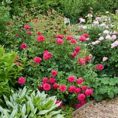 Sir John Betjeman - David Austin Roses