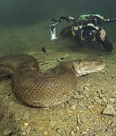 """Obviously, this diver hasn't seen the movie """"Anaconda."""" According to the Daily Mail U., diver and snake fanatic Franco Banfi took a dip with a anaconda who was on the prowl for food in Mato Grosso, Brazil. Scary Animals, Nature Animals, Animals And Pets, Cute Animals, Les Reptiles, Reptiles And Amphibians, Beautiful Snakes, Animals Beautiful, Anaconda Gigante"""