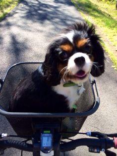 Full grown Cavalier King Charles Spaniel in a bike basket! Got to love him #cavalierkingcharlesspanielfullgrown