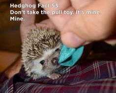 Baby Hedgehog Playing Tug of War Hedgehog Facts, Hedgehog Care, Funny Hedgehog, Happy Hedgehog, Pygmy Hedgehog, Animals And Pets, Baby Animals, Cute Animals, Funny Animal Pictures
