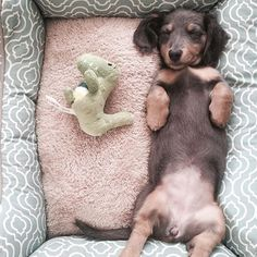 01/14/16 The Dachshund of the day is @indi_gram0202  ➖➖➖➖➖➖➖➖➖➖➖➖➖➖➖➖ To be featured tag your photos to ➡#DachshundOfTheDay ⬅️