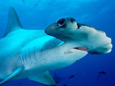 Hammerhead sharks are consummate predators that use their oddly shaped heads to improve their ability to find prey. Their wide-set eyes give them a better visual range than most other sharks. And by spreading their highly specialized sensory organs over their wide, mallet-shaped head, they can more thoroughly scan the ocean for food.