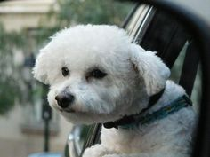 Bichons love to stick their heads out windows and get wind in their faces!