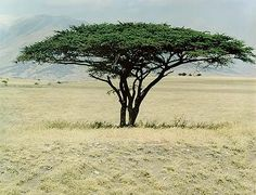 Acacia Tree, Near Lengai, Tanzania, July 13, 1970( I have dreamed of flying around these trees,Awesome dream.