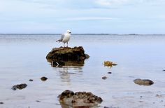 One Mother Hen: A quick shoot around Pelican Point South Australia, Coast, Seaside