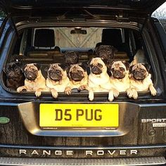They ride like this.. Follow @bubblebeccapugs .. Chat with me on Twitter! @TheTomCoteShow - Use #TheTomCoteShow on your #pug pics. . By thetomcoteshow
