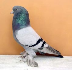Silver Bar West of England Tumbler Pigeons | Turbit - Originated perhaps in England, France or Germany, is one of ...