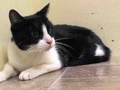 TO BE DESTROYED 8/19/14 ** A volunteer writes: Belle means beautiful, and it's the perfect name for this friendly supermodel of a cat, with her cotton-soft fur and pink button nose. Belle isn't just a beauty; she's well behaved too. ** Manhattan Center  My name is BELLE. My Animal ID # is A1008739.  I am a female black and white dom sh mix. The shelter thinks I am about 5 YEARS old.   OWNER SUR on 07/31/2014 from NY 10465, OWN EVICT. Group/Litter #K14-188190.